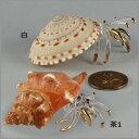 南国貝とガラスで作られた置物、南国ディスプレイヤドカニのガラス細工置物