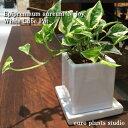 【送料無料】ポトス エンジョイ 観葉植物 鉢植え 高さ15c...