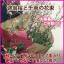 さくら 花束 啓翁桜 送料無料 花束 80cm (7〜8本入り) 桜と千両の花束 桜の長さは家庭で飾るに丁度良い長さ 山形 花ギフト 花 フラワー フラワーギフ...