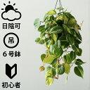 [ 吊り下げ ] フィロデンドロン・ブラジル ( おしゃれ 観葉植物 /人気/日陰/プラスチック吊り鉢)