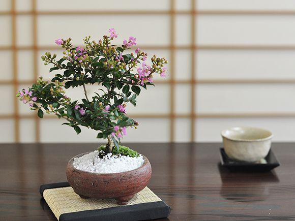 百日紅(ヒャクジツコウ)【盆栽 ミニ盆栽 鉢植】