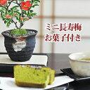 お花の盆栽とお菓子のギフトセット【長寿梅...