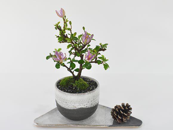 [母の日]睡蓮木の盆栽 スイレンボク【盆栽 母...の紹介画像2