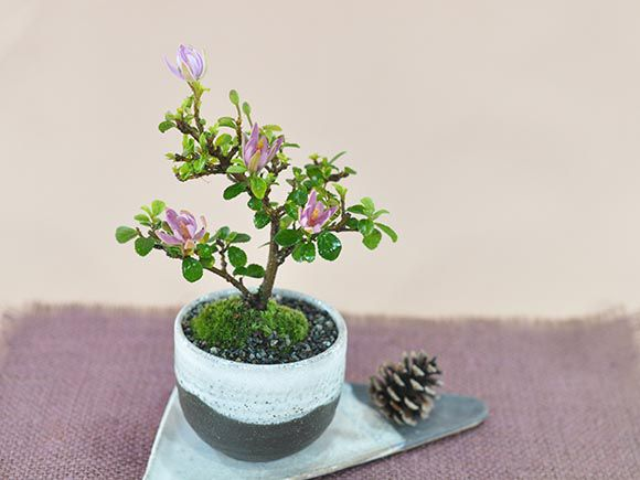 [母の日]睡蓮木の盆栽 スイレンボク【盆栽 母...の紹介画像3