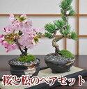 桜 盆栽と松のペアセット 桜 花と緑で始める盆栽 ミニ盆栽 鉢植え ギフト 贈り物 和 ミニ 桜特集