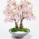 桜の2本立ち さかずきの器【盆栽 桜 満開桜 さかづきの器。桜盆栽育て方冊子と肥料付きお家でお花見