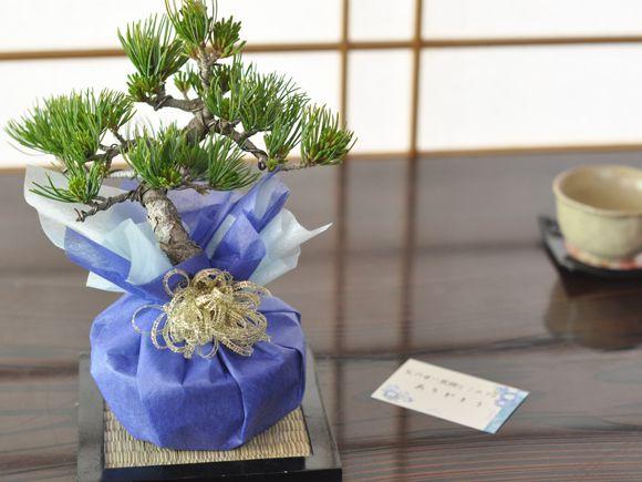 バレンタインデーに松の盆栽をプレゼント 五葉松 育て方冊子と肥料付き 【送料無料】【盆栽 ミニ盆栽 鉢植】