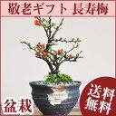 【敬老の日 盆栽】【長寿梅のミニ盆栽 敷...