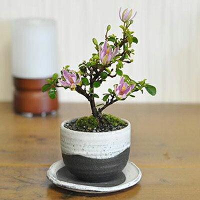 [母の日]睡蓮木の盆栽 スイレンボク【盆栽 母の...の商品画像