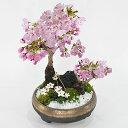 盆栽 桜の寄せ植え 大小の桜に小さい梅花オーレンがかわいい桜の公園風 【盆栽 陶器鉢6号 盆栽ギフト かわいい おしゃれ 初心者 贈り物 ギフト プレゼント 誕生日 バレンタイン さくら 母の日 sakura bonsai ぼんさい】