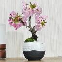 盆栽 ミニ桜 いっぷく ミニ盆栽 陶器鉢4号 盆栽ギフト かわいい おしゃれ 初心者 贈り物 ギフト プレゼント 誕生日 バレンタイン さくら 母の日 sakura bonsai ぼんさい 桜特集