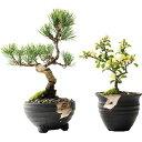 盆栽 五葉松と白長寿梅 ペアセット【ミニ 室内 インテリア 鑑賞 おしゃれ 鉢植え bonsai ぼんさい 10000円以下】