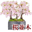盆栽 桜 さくら並木の情景盆栽【桜盆栽 情景盆栽 桜並木 3本立ち 育て方冊子と肥料付きお家でお花見