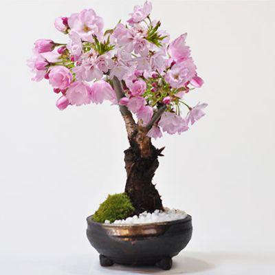 桜 盆栽 手造り信楽鉢【桜のミニ盆栽(桜 盆栽 bonsai ボンサイ さくら ミニ盆栽 …...:bonsai-myo:10001228