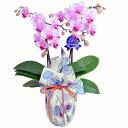 ミディ胡蝶蘭 風呂敷包み 2本立ち ピンク色 青嵐