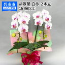 【ふるさと納税】胡蝶蘭 白赤 2本立て16輪以上 アイビー入り H042-003