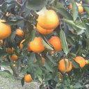 【ふるさと納税】■マルユー園清見オレンジ10kg混合 ※20...