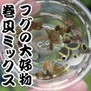 (熱帯魚 活餌)エサ用巻貝 約30匹【水槽/熱帯魚/観賞魚/飼育】【生体】【通販/販売】【アクアリウム】