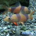 (熱帯魚 生体)クラウンローチ(約3-4cm)(3匹)【水槽/熱帯魚/観賞魚/飼育】【生体】【通販/販売】【アクアリウム】