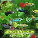 (熱帯魚 生体)ミックスグッピー (外国産)(5ペア)+スプ...