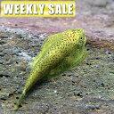 (熱帯魚)( 週替わり限定)ポリプテルス セネガルス(約6cm)(1匹)【水槽/熱帯魚/観