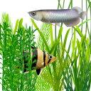 (水草)大型魚水槽に タフで大型な水草10本セット 【水槽/...
