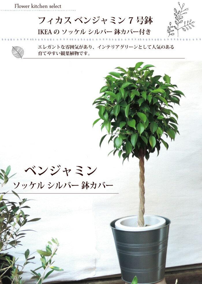 (観葉)季節の花鉢シリーズ『ベンジャミン Lサ...の紹介画像2