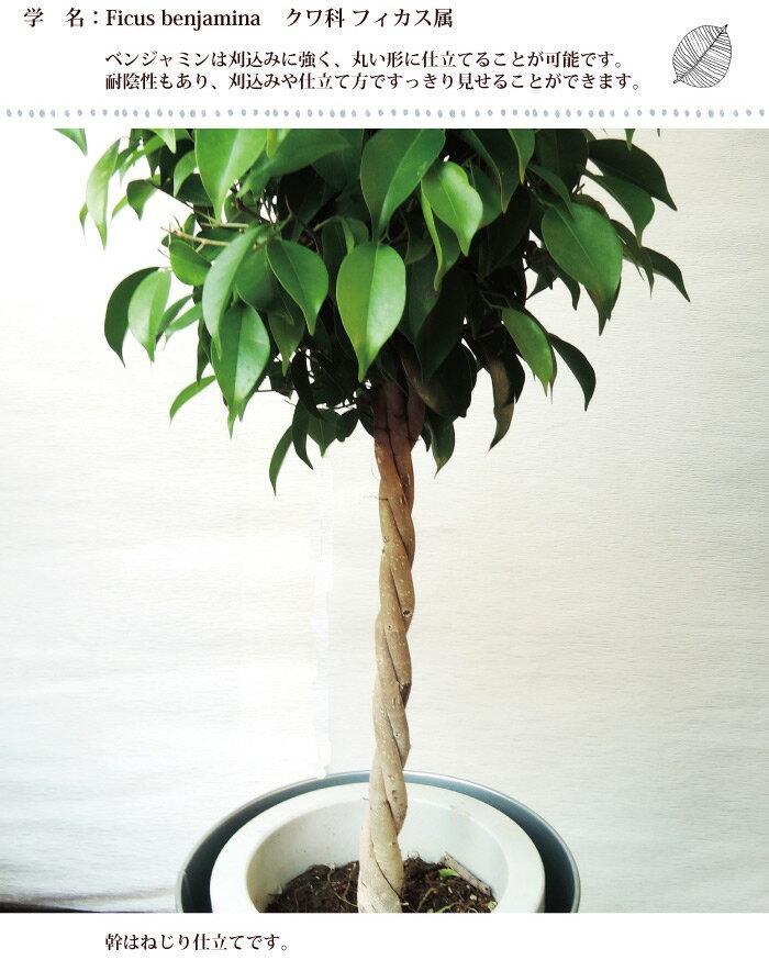 (観葉)季節の花鉢シリーズ『ベンジャミン Lサ...の紹介画像3