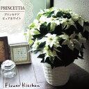【送料無料】冬の定番ポインセチアのギフト【プリンセチア ピュアホワイト 】プリンセチア