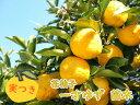 【実つき】一才柚子 一才ゆず 「花柚子 (花ゆず) 」 接ぎ木2、3年生苗 苗木 6号鉢 樹高40〜50cm 実が4,5個ついています! ゆず 柚子 ユズ お正月飾りに 縁起物