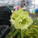 ショッピングクリスマスローズ 【花に傷あり 花小さいです】クリスマスローズ 苗 開花株 K224 クリーム色系 八重咲き 2021年3月10日撮影です 到着時には花が終わっている可能がありますので予めご了承ください