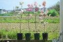 【ハナミズキ苗】 4月下旬〜5月頃開花 4種類の中からお好きな花を選べます ハナミズキ レッドジャイアント ジュニアミス レッドビューティ クラウドナイン