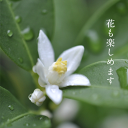 キンカン鉢植え【食べれる鉢植え】果樹の鉢植え2020年2月頃までは実が付いています