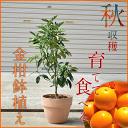 キンカン号【食べれる鉢植え】果樹の鉢植え  2018年実12月頃までは 実が付いています