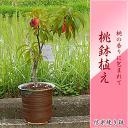 桃鉢植え  桃の木