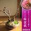 八重桜を祝いに さくら盆栽 でお花見ができますミニ盆栽桜 2019年4月中頃の春に開花 自宅でお花見