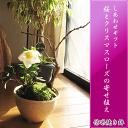 【幸せの白い花】 2016年【幸せギフト】 盆栽:桜と クリスマスローズの寄せ植え期間限定販売です 【鉢植】お母さんへの贈り物にも人気ですよ