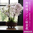 Sakura_062