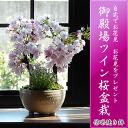 2019年4月の春に開花八重桜【さくら盆栽】さくら盆栽 桜盆栽 ツイン桜盆栽 信楽焼鉢入り  【鉢植】お祝いのプレゼントにサクラ 自宅でお花見が楽しめます