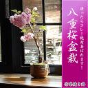 Sakura_10