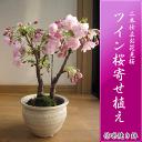 2018年4月末頃開花【桜盆栽】4月にはこんな感じで 咲きます。 盆栽: ツイン桜寄せ植え 信楽鉢入り 【桜満開】 桜盆栽の二本仕立 ぼんさい 【鉢植】春に開花 自宅でお花見