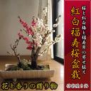 Sakura_21