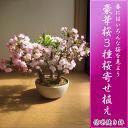 サクラのお好きな方にプレゼントに喜ばれる【桜盆栽】鉢花  桜盆栽 桜の盛り合わせ 3種類のサクラのお花がこの一鉢で楽しめます。 豪華桜3種桜寄せ植え桜盆栽 【鉢植】