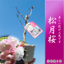 【桜盆栽】松月桜 お花見 信楽焼き鉢入り桜盆栽 【鉢植】