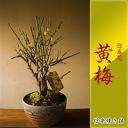 【黄梅】黄色く可愛く咲く花 信楽焼鉢入り 育てやすいモクセイ科 【迎春花 2月?3月上旬開花
