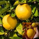【香酸柑橘系ミカン属】マイヤーレモン(接木苗)4号LLポット