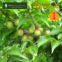 紀ノ川小梅 小梅しゃん 完熟梅9kg 和歌山 観音山フルーツガーデン 送料無料 予約商品