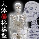 【ポイント最大10倍】 人体骨格模型 がい骨 【ヒューマンスカル】 大型160cm 骸骨 がい...