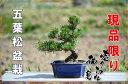 【盆栽】五葉松盆栽 信楽鉢入 楽しみをプレゼントに 誕生日ギフトにも  姿を楽しむ◎お中元に  A003番 こちらの現品の盆栽となります 商品番号lm3