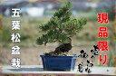 【盆栽】五葉松盆栽 信楽鉢入 楽しみをプレゼントに 誕生日ギフトにも  姿を楽しむ◎お中元に  A008番 こちらの現品の盆栽となります 商品番号lm8